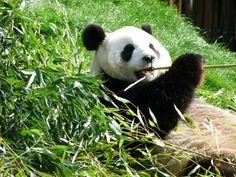 """Les pandas de Pairi Daiza.  C'est Hao Hao, jeune femelle qui vient d'être sacrée """"Panda favori de Chine""""."""