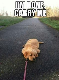 My Golden Puppy did this all the time!  He's now 8 months and 70+ pounds and still does it, but now I can't carry him! Ha...