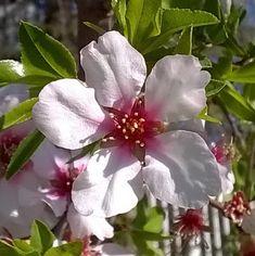 utimorzsák: Mandula virágzás