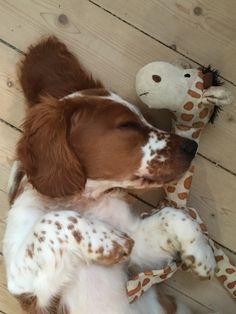 """Excellent """"spaniel pups"""" info is offered on our site. Check it out and you wont be sorry you did. Baby Puppies, Cute Puppies, Dogs And Puppies, Corgi Puppies, Husky Dog, Doggies, Welsh Springer Spaniel Puppies, Spaniel Dog, Field Spaniel"""