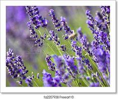 """Lavender field"" - Art Print from FreeArt.com"