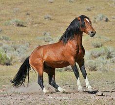 Wild Bay Mustang Stallion Putting on the Brakes.