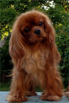 Cavalier King Charles Spaniel, Lesley's beautiful Lanina.  This is the one type of hair variety we never had as Cavalier lovers.  If another Cavalier were to decide to live happily ever after with us one day...oh, I'd wish for a ruby or another black-n-tan!!!