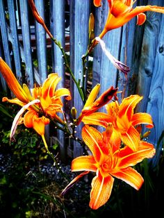 """Another of my favourites: Flower Photography Lilies - """"Fire Lilies"""" - Flowers on Fire -  8 x 10 print by PaintedEpoxy. $14.00, via Etsy."""
