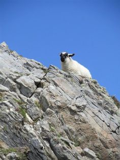 Sheep looking out over Slieve League County Donegal, Ireland