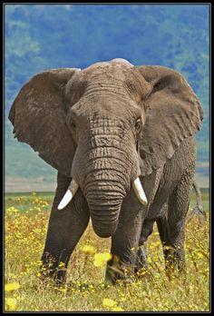Africa | Bull elephant.  Ngorongoro crater, Tanzania | ©Henk Bogaard