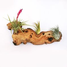 African Mopani Wood with Air Plants