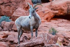 https://flic.kr/p/JEWrpq | That's Close Enough | That's Close Enough Desert Big Horn Sheep Valley Of Fire State Park Overton, Nevada