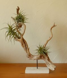 Driftwood sculpture help for tillandsias flower decorative thing with Driftwood sculpture holder for Tillandsia vegetable decorations with Driftwood Beach, Driftwood Art, Air Plant Display, Plant Decor, Ikebana, Air Plants, Indoor Plants, Hanging Plants, Potted Plants