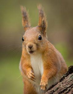 Squirrel portrai by Anne Skjevik