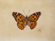 Watercolour painting of an orange and brown butterfly, Painted Lady Butterfly , on vellum by artist Shevaun Doherty #doodlewash