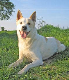 The #Canaan Dog up close