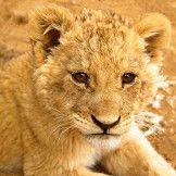 Artist: Engela Vermeulen   metal posters - Displate #LionCub #Lion #Cub #Juvenile #Nature #Displate #Animals