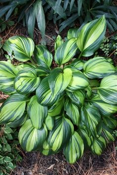 Small Cultivar  This is a Starter Plug!  Very showy and unique hosta with extreme variegation and shiny leaves. Sport of Obsession with a bright yellow ce