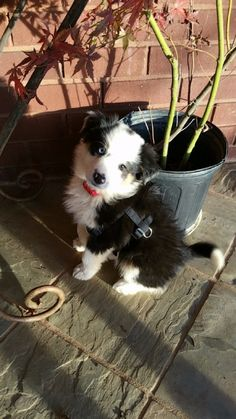 cute little black and white shepherd puppy