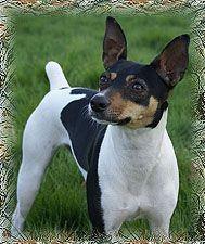 Decker rat terrier <3