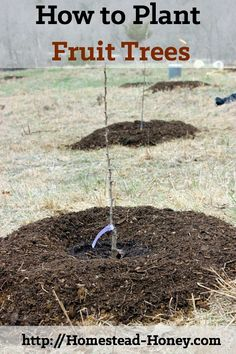 Start your orchard off on the right foot by preparing and planting with care. This photo tutorial will teach you how to plant a fruit tree in your backyard or homestead orchard. | Homestead Honey
