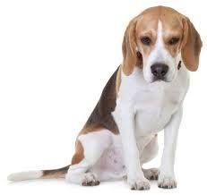 beagle - Buscar con Google