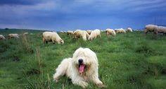 Sheep Doggie!!!