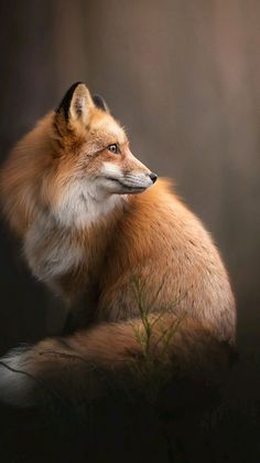 I adore the cute fox Nature Animals, Animals And Pets, Beautiful Creatures, Animals Beautiful, Fuchs Illustration, Fox Images, Fox Pictures, Photo Animaliere, Pet Fox