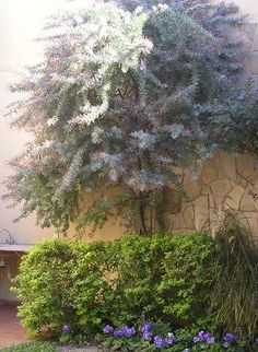 Acacia baileyana purpurea: ¿son estas las semillas? Quiero reproducirla - Foro de InfoJardín Acacia Baileyana, Privacy Trees, Specimen Trees, Backyard Plants, Evergreen, Exterior, Landscape, Gardens, Sage Green House