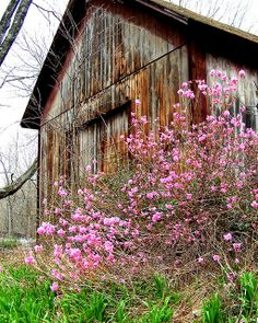 'barn with azaleas' by hickamorehackamore on flickr. I love old barns