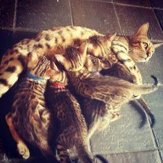 Www.bengaldiamondz.com   # bengal kitten bengal cat bengaal kitten bengaalse kat