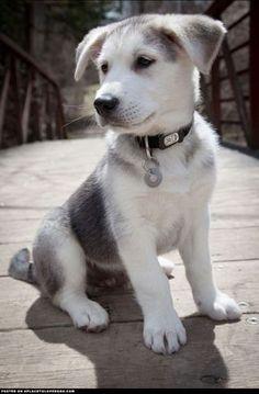 19 Breathtaking Husky and Golden Retriever Mixes Mix Cross Breed Goberian Goberians BowWow Times Crossed Cute Siberian Huskies #goldenretriever