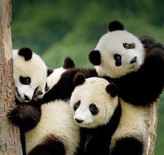 Image via We Heart It #pandas #trio