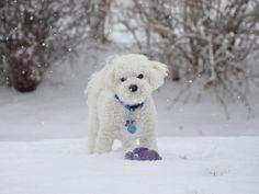 http://dogcatz.info/wp-content/uploads/2012/07/Bichon_frise_puppy_cut.jpg