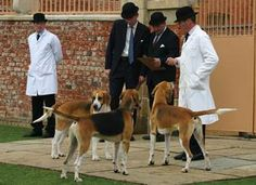 The Duke of Rutland's hounds at the Belvoir kennels.