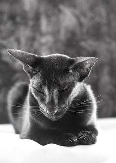 a large black and white photo of a black oriental shorthair cat Usyaka with her eyes closed but one ear moved towards a window