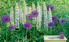 Blumenbeet mit Lupinen und Zierlauch
