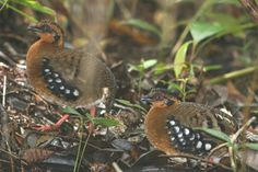 Red-breasted Partridge Arborophila hyperythra - Google Search