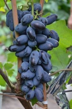 Fruit And Veg, Fruits And Vegetables, Birds Of Paradise Plant, Wine Vineyards, Weird Food, Organic Fruit, Exotic Fruit, Best Fruits, Delicious Fruit