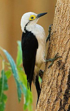 El Carpintero blanco, (Melanerpes candidus) Su plumaje es blanco en las partes inferiores del cuerpo. Negro en la parte superior : espalda, alas, cola. Presenta manchas amarillas perioculares (alrededor del ojo), en la nuca y en el vientre. La hembra se diferencia del macho porque no tiene la mancha amarilla de la nuca.  Tiene unos 24 cm de longitud total. Se mueve en grupos, vuela en áreas abiertas, más bien alto. Caza en el aire y es frugívoro.