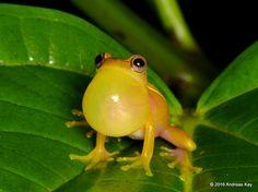 https://flic.kr/p/LJDYRQ | Upper Amazon treefrog, Dendropsophus bifurcus | from Reserva Ecológica Tamandua, Ecuador (open to researchers, birdwatchers and photographers): www.yanacocharescue.org/tamandua-ecologic-reserve, additional photos at www.flickr.com/andreaskay/sets/72157671181153332