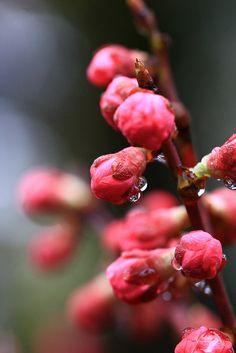 Cherry blossom bud, Kenroku-en Garden, Kanazawa, Ishikawa, Japan