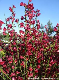 Ruby Broom, Cytisus boskoop Garden Shrubs, Flowering Shrubs, Trees And Shrubs, Garden Plants, North Facing Garden, Climbers, Yard, Gardening, Flowers