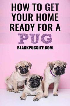 Pug Puppy Training Find Out When You Should Start Training And