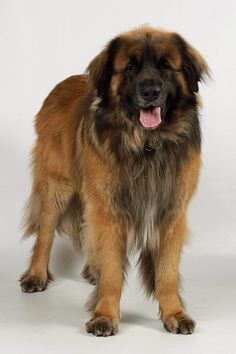 Leonburger Dog, Lion Dog, Mastiff Breeds, Giant Dog Breeds, Dog List, Companion Dog, Wild Dogs, Cute Dogs And Puppies, Dog Boarding