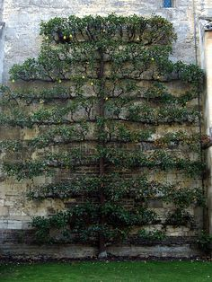 Espalier quince - possibly one of the most beautiful espalier I've ever seen.