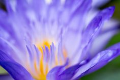 Star of Siam Waterlily photograph by Priya Ghose - Vividly blue with a warm yellow center, tropical waterlily Star of Siam is an enchanting aquatic plant featuring stamens with an exotic star shape.