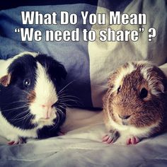 Guinea Pig Names – There are few pets as cute and cuddly as a guinea pig, so we totally understand your excitement if you are in the process of getting one. Guinea pigs are becoming an increa… Guinea Pig Quotes, Guinea Pig Food, Guinea Pig House, Cute Guinea Pigs, Guinnea Pig, Pig Pics, Guinea Pig Bedding, Mini Pigs, Cute Piggies