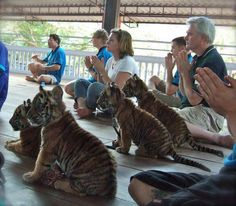 Meditating with Tiger Cubs at Tiger Temple, Thailand .