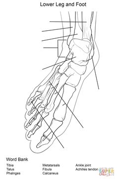 Foot Bones Anatomy Worksheet Coloring Page From Category