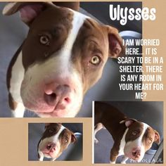 11/15/15-SUPER URGENT - Pit a Boo November 2 · Edited · MISSING AFTER THE SHELTER BREAK IN ON 11/3 Ulysses - ID #A488120. Must exit 11/5. I am 1 year old male , Pit Bull mix. Photos and Video by Andrea: https://www.facebook.com/andrea.neyses/videos/996133147114958/ Was originally at Devore Shelter before. San Bernardino City Shelter San Bernardino , CA 909-384-1304