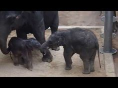ZOO Prague - 3 days old baby elephant and his  6 months old cousin - YouTube