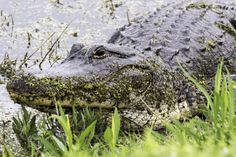 Central Florida has opened an entertaining tourist attraction that is free, a drive through a wild area teeming with alligators, otters, coyotes, herons, egrets, ospreys and eagles.