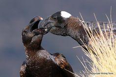 Thick-billed Raven - Markus Lilje